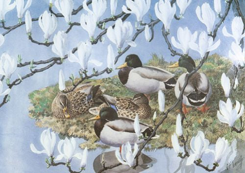 Charles Tunnicliffe - Mallards and Magnolia