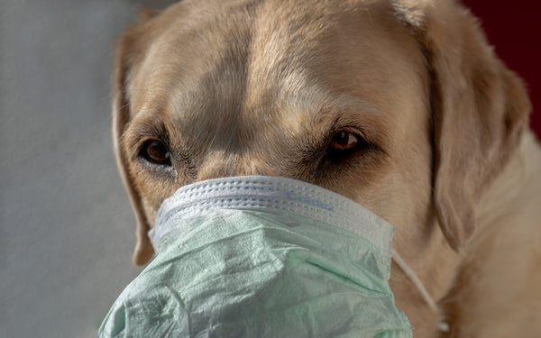 Cats, dogs and coronavirus: are animals dangerous for their owners ?