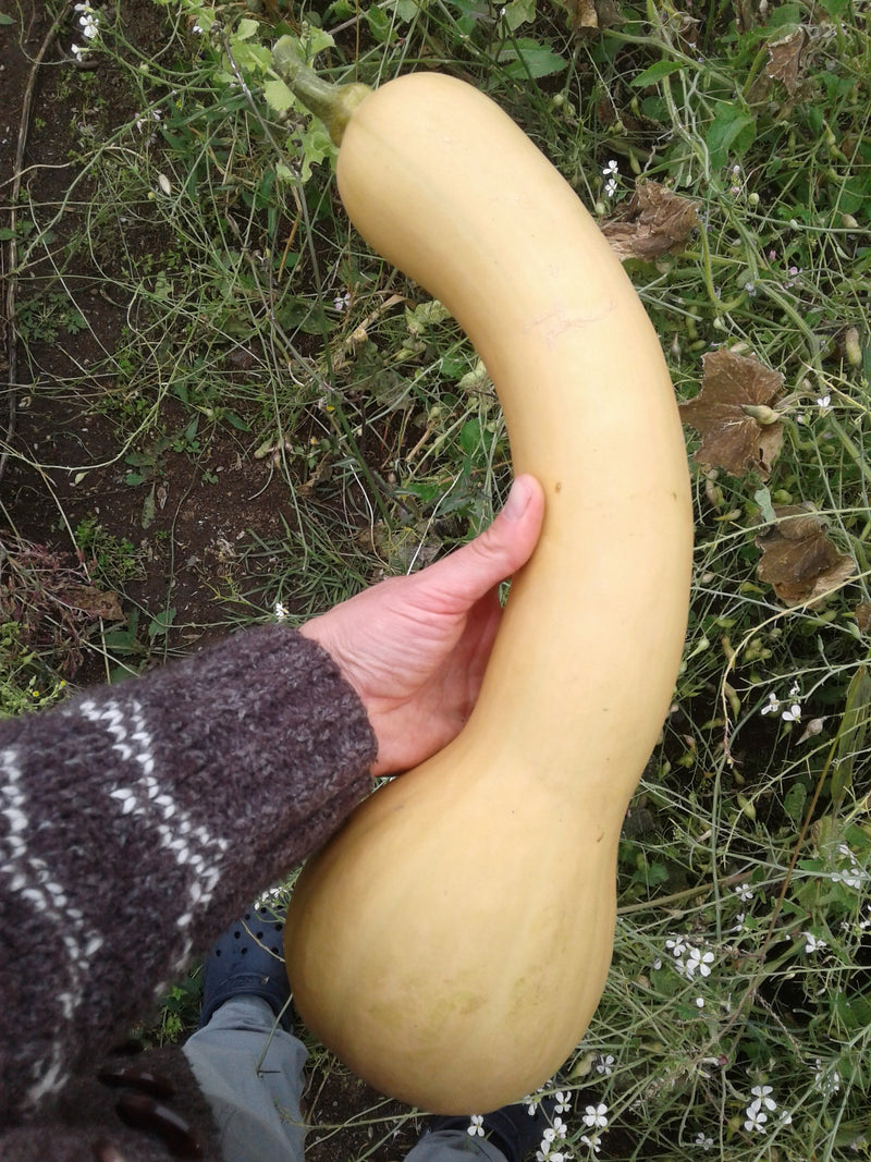Courge butternut 'Canada Crookneck' - Semences