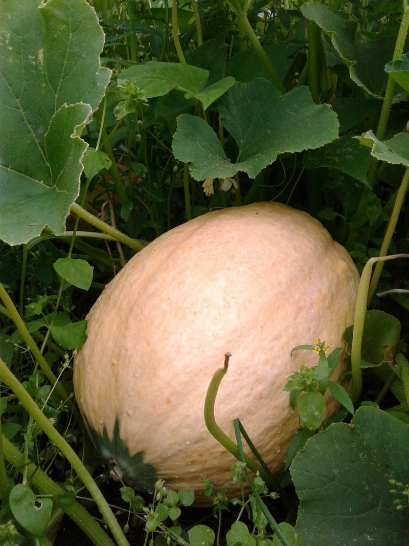 Courge Arikara - Semences