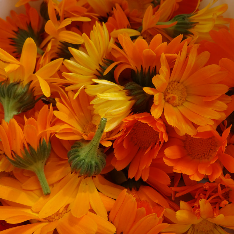 Calendula Officinale - Semences