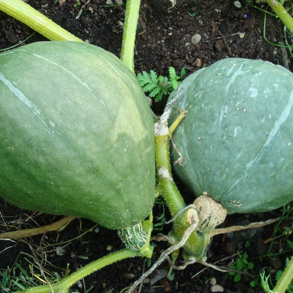 Courge Mountaineer - Semences