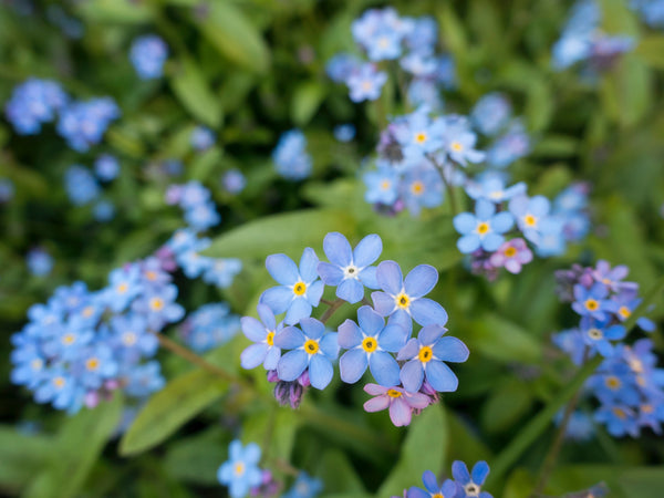 Myosotis - 'Forget me not' - Semences