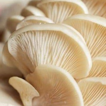 Mushroom - Oyster - Savvy's Online Palengke and Grocery Delivery Philippines