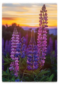 Lupine Blooms Sunrise Blank Note Card