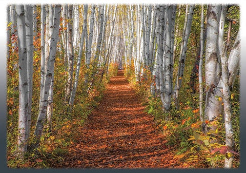 Autumn Birch Path Blank Note Card