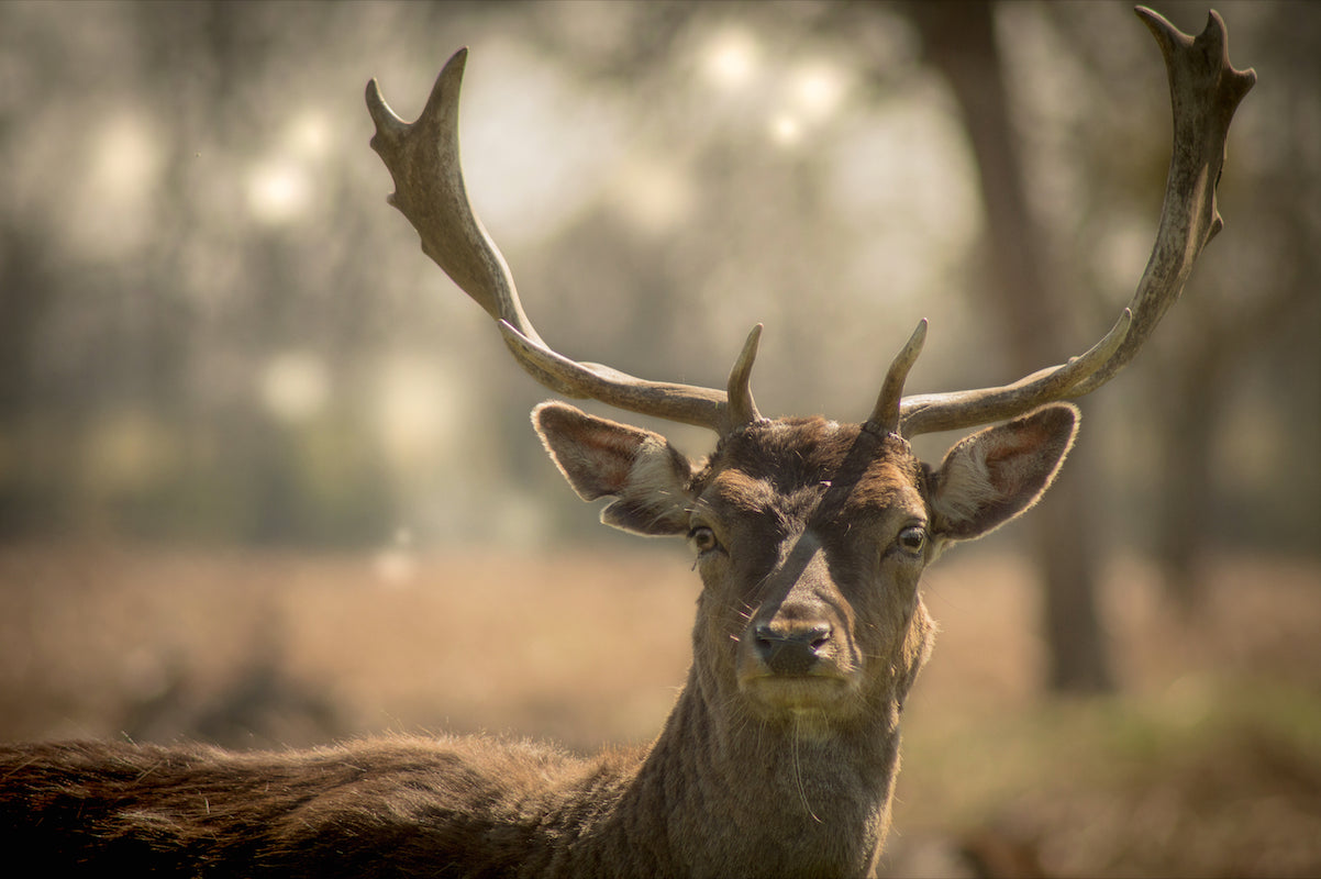 Fallow Buck - T.Wilsher Photography