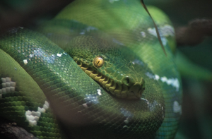Emerald Tree Boa - T.Wilsher Photography