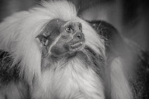 Cotton Top Tamarin - T.Wilsher Photography