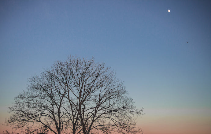 The Sycamore, The Sunset and The Moon - T.Wilsher Photography
