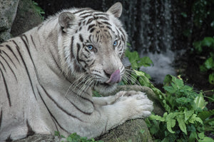 White Bengal Tiger - T.Wilsher Photography