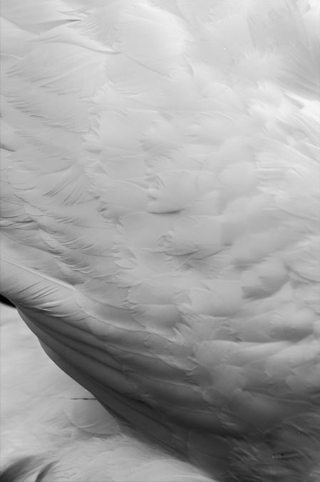 Mute Swan Wing 2 - T.Wilsher Photography
