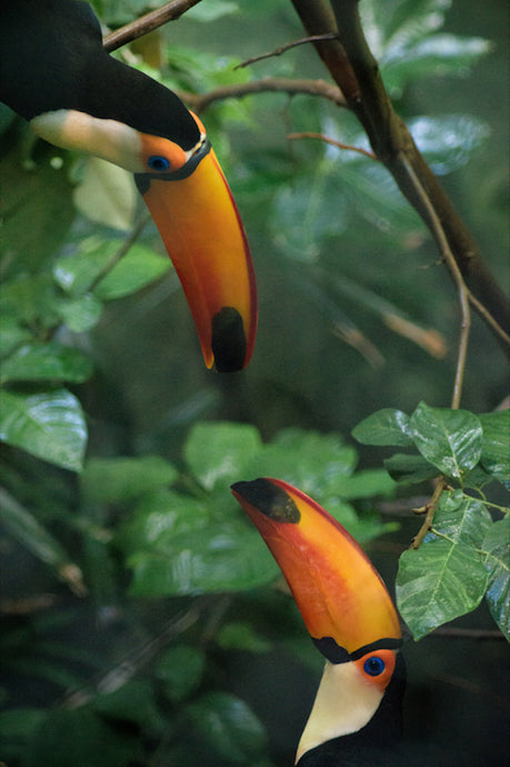 Two Toucans - T.Wilsher Photography