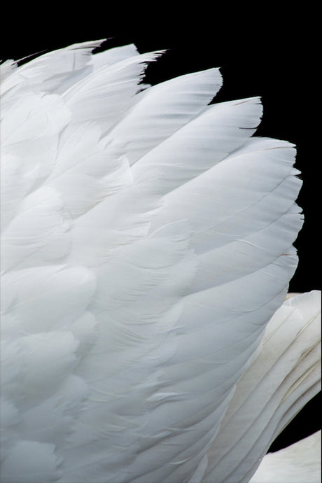 Mute Swan Wing - T.Wilsher Photography