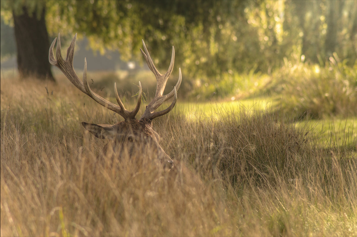 Antlers In the Grass - T.Wilsher Photography