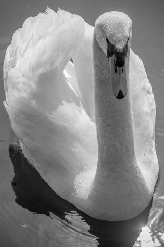 Mute Swan on the Water - T.Wilsher Photography