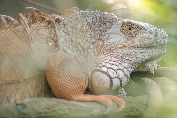 Green Iguana in the Sunlight - T.Wilsher Photography