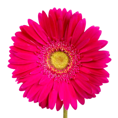 Bulk Hot Pink Gerbera 50 Stems