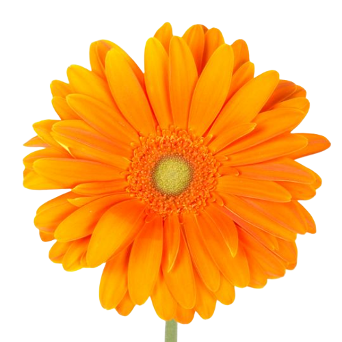 Bulk Orange Gerbera 50 Stems