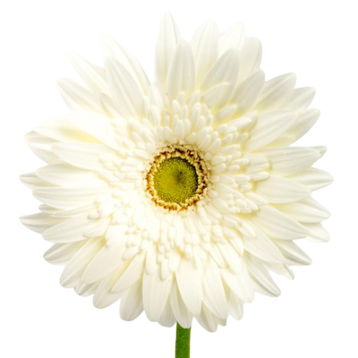 Bulk White Gerbera 50 Stems