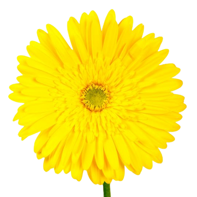 Bulk Yellow Gerbera 50 Stems