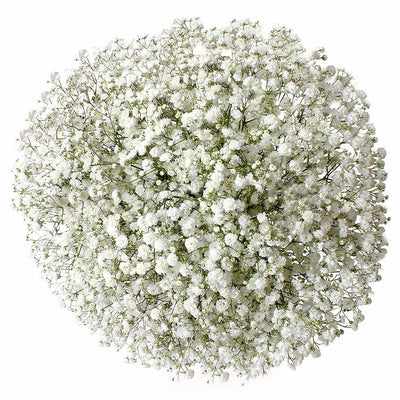 Bulk Baby's Breath 13 Bunches (10 stem/bunch)