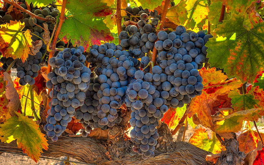 red, autumn, nature, vine, fall, green, color, fruit, yellow, season, plant, agriculture, harvest, summer, background, grapes, wine, leaf, grapevine, winery, fresh, grape, organic, purple, food, vineyard, bunch, ripe, closeup, decoration, natural, rural, orange, sun, branch, october, field, growing, freshness, foliage, white, colored, colorful, sweet, colors, farm, blue, winter, design, growth