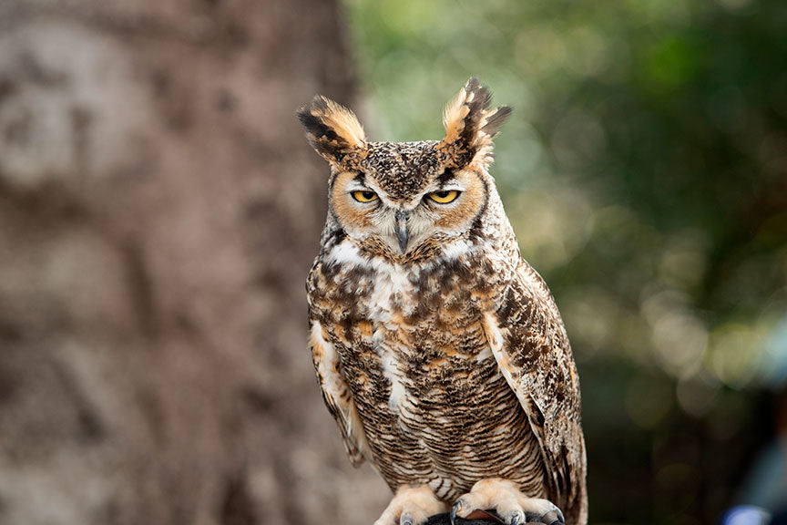 owl, bird, nature, wildlife, beak, raptor, predator, feather, animal, horned, great, brown, portrait, wild, white, closeup, looking, eyes, yellow, great horned owl, outdoors, eye, hunter, face, beautiful, prey, head, feathers, natural, standing, background, watching, virginianus, wings, isolated, perched, tree, black, avian, bird of prey, flight, creature, vertebrate, wise, close-up, species, studio, yellow eyes, square, cut out