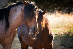 wild, horse, nature, mustang, freedom, animal, mammal, desert, stallion, equine, equestrian, herd, mare, free, west, white, sky, speed, red, black, gallop, western, sand, grass, sunset, grey, group, horses, summer, farm, utah, outdoors, run, isolated, mountain, male, brown, bay, fast, beautiful, wildlife, landscape, motion, foal, colt, dust, runner, mustangs, beauty, sun