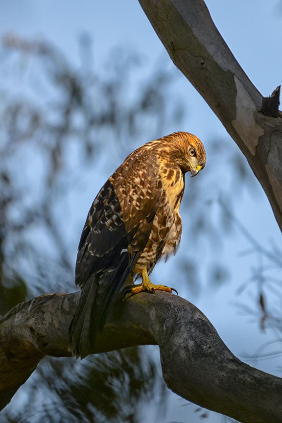 bird, goshawk, nature, raptor, prey, beak, wildlife, background, animal, forest, hawk, wild, brown, predator, wings, outdoor, feather, male, blue, hunting, tree, falcon, european, feathers, branch, hunter, wood, talons, accipiter, avian, beautiful, flight, northern, wing, claws, portrait, female, bird of prey, sky, northern goshawk, white, eyes, grass, fauna, sized, rabbits, reptiles, late, australian, hovering