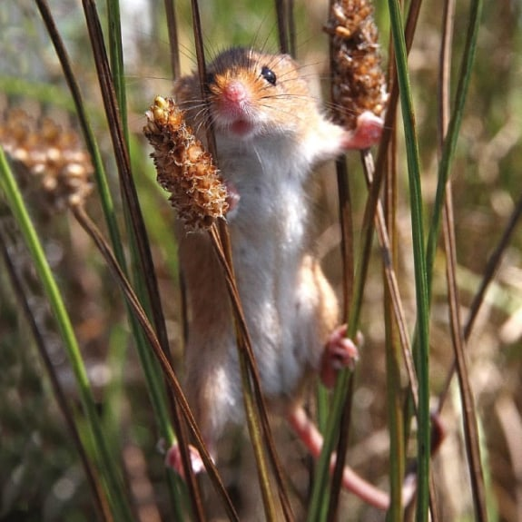 BBC Earth - Harvest Mouse