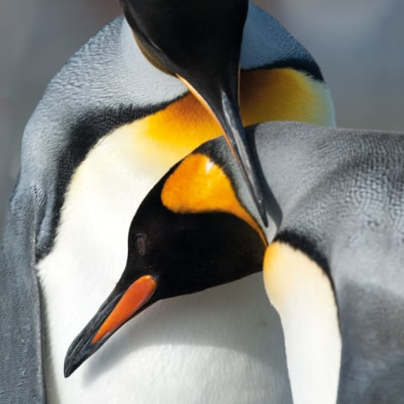 BBC Earth - King Penguins