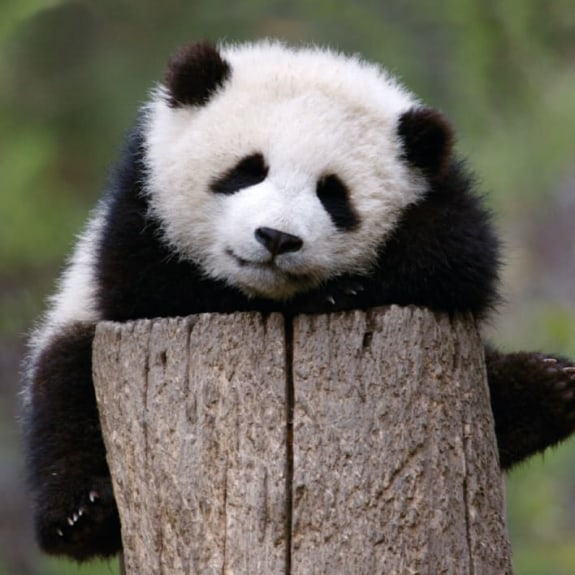 BBC Earth - Giant Baby Panda