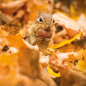BBC Earth - Chipmunk with an Acorn