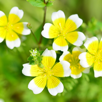 Grow Your Poached Egg Plant: Seeds - Mucky Knees Gift Boutique