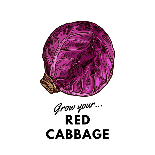 Grow Your Red Cabbage: Organic Seeds - Mucky Knees Gift Boutique