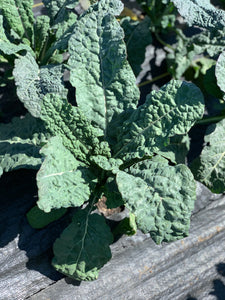 Tuscan Kale - bunch
