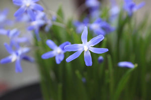 Tinnisburn Plants now home to the National Plant Collection for Scilla (Chionodoxa)