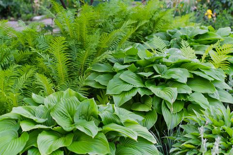 Ferns & Hostas