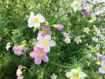 Polemonium carneum 'Apricot Delight' (Jacob's Ladder)