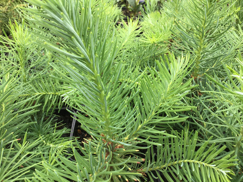 Abies procera (Noble Fir)