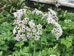 Chaerophyllum hirsutum 'Roseum' Summer Sale 3 for £9