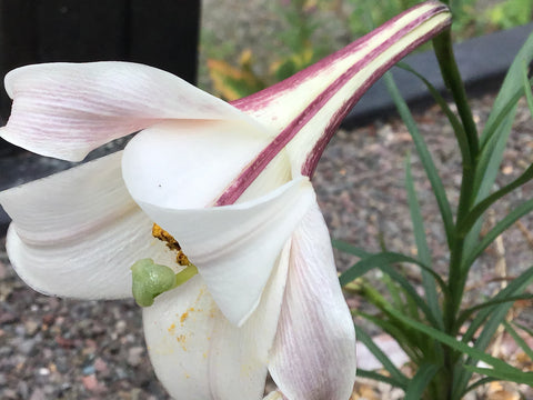 Lilium formosanum var. pricei (seed) SALE now only £1 per packet