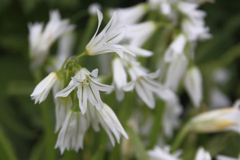 Allium triquetrum (Three Cornered Leek)