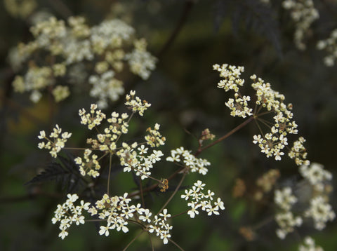 Anthriscus sylvestris 'Ravenswing'