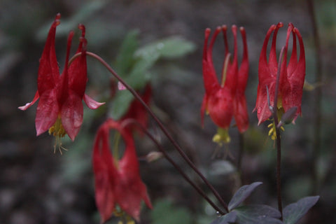 Aquilegia canadensis 'Little Lanterns' (seed)