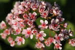 Darmera peltata (Umbrella plant, Indian rhubarb)