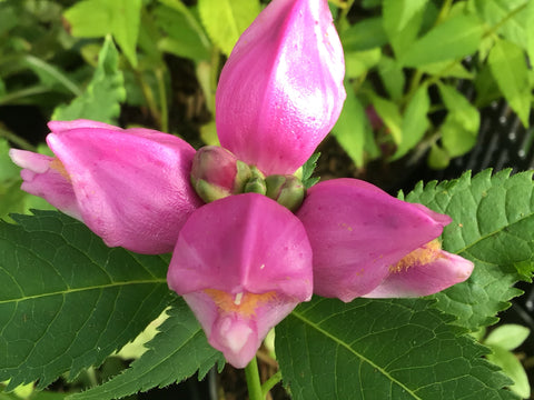 Chelone obliqua (Twisted shell flower, Turtlehead)