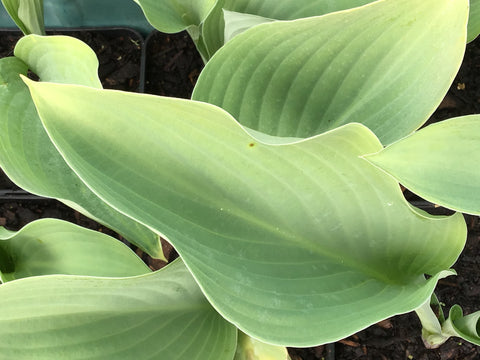 Hosta 'Krossa Regal'