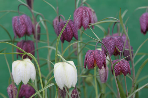 Fritillaria meleagris (seed) SALE now only £1 per packet